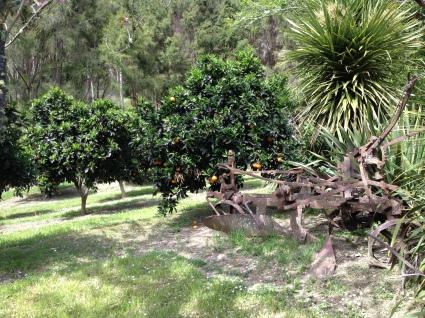 The orange and citrus trees