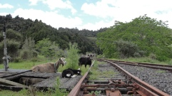 Saw a sign for a Ghost Town. It was an old rail community long gone, now populated by goats. #GoatsTown
